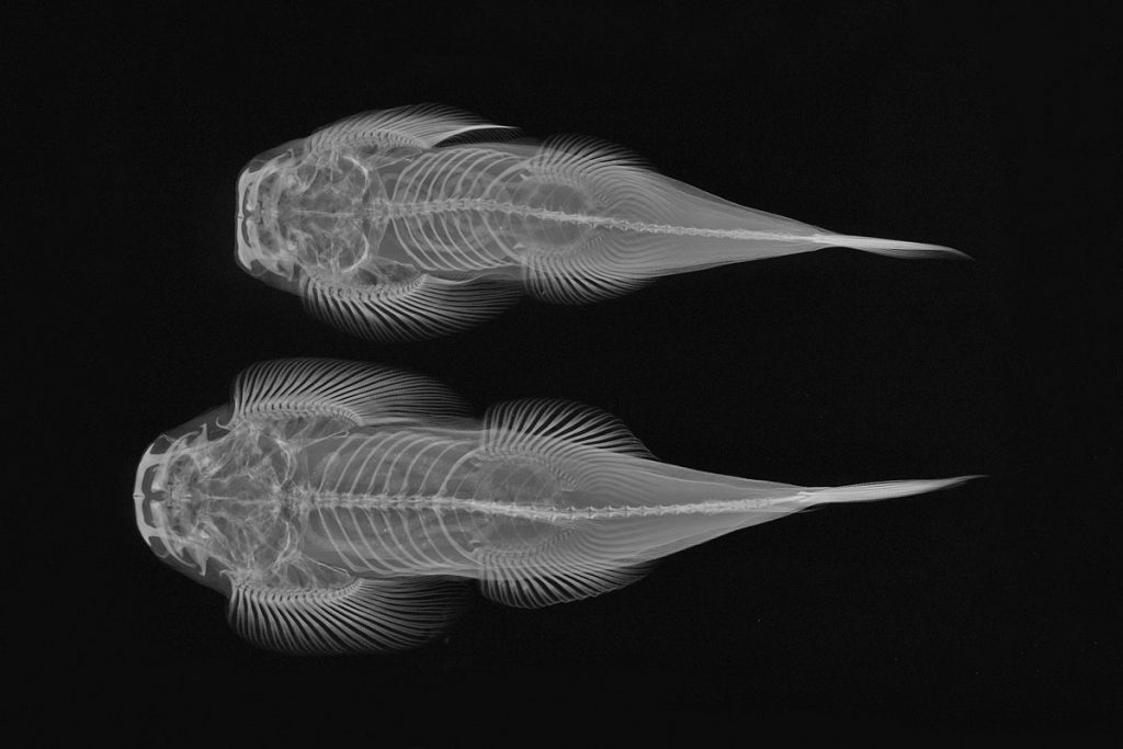 Torrent loach, upside down x-ray vision fish